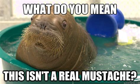 Walrus Meme - what do you mean this isn t a real mustache confuesed