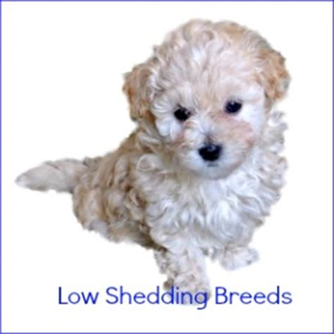 Low Hair Shedding Breeds by Breeds Expert Find The For You