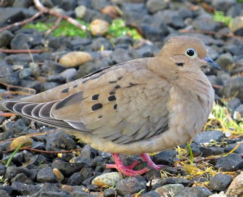 bird lore mourning dove my edmonds news