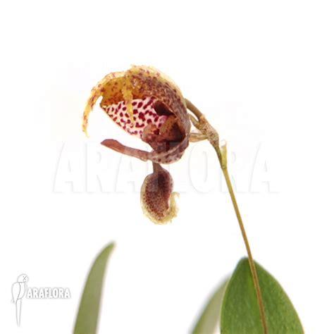 Panci Kalakat 40 Cm Orchid Limited 1 araflora flora more orchid scaphosepalum rapax