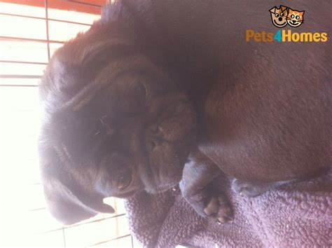 pugs for sale in maidstone sad sale of much loved pug maidstone kent pets4homes