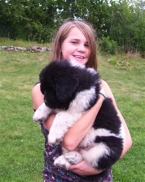 newfoundland puppies california landseer newfoundland puppy photos 4