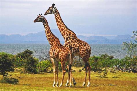 imagenes reales de jirafas curiosidad animales que podr 205 an desaparecer en el 2017