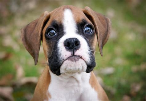 boxer puppies for sale indiana boxer puppies for sale akc puppyfinder