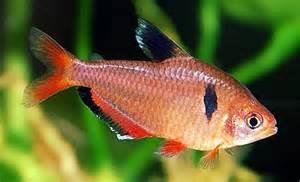 Small Tropical Plants - serpae tetra hyphessobrycon eques tropical fish keeping