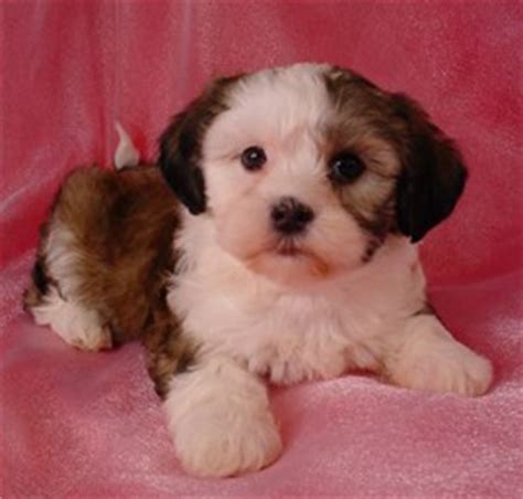 shih tzu breeders in washington state shih tzu bichon mix puppies for sale in washington state