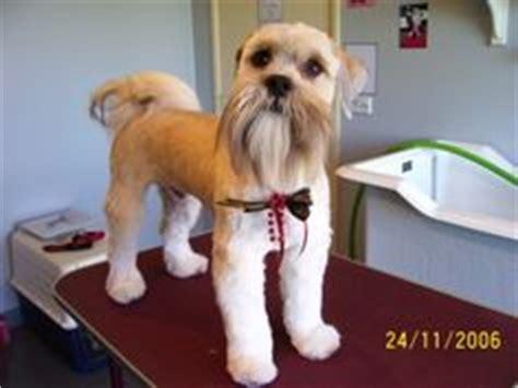 shih tzu schnauzer cut 1000 images about creative grooming on creative grooming grooming