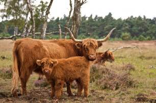 Highland cattle the life of animals