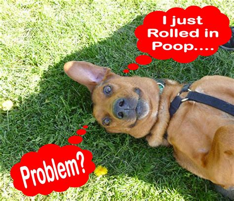 why do dogs roll in stinky stuff why does my roll in stinky stuff pawsitive solutions