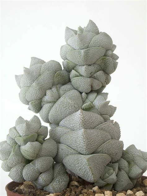 crassula umbella for sale the crassula also known as buddha s temple rebrn com