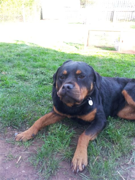 what is the expectancy of a rottweiler rottweiler dogs breed information omlet