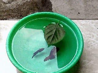 Pakan Jadi Ikan Cupang beternak cupang sebagai ikan hias air tawar ikan hias