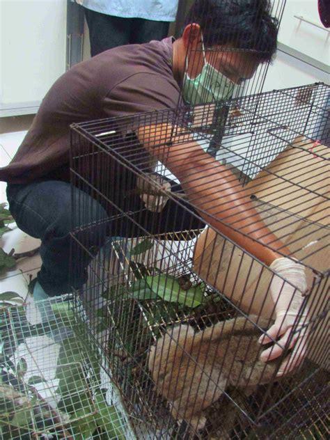 slow lorises rescued  indonesia