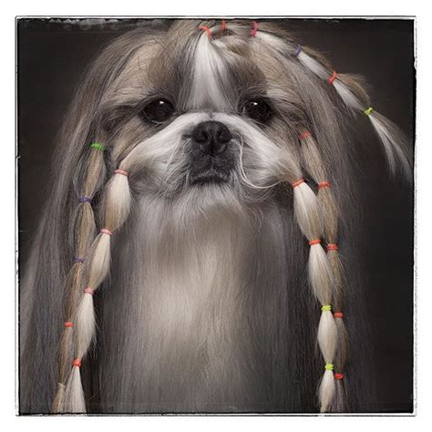 1000 images about barkley shih tzu hair cuts on pinterest 1000 images about shih tzu on pinterest maltese pets