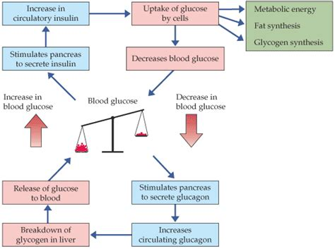 insulin and glucose diagram all about carb cycling precision nutrition