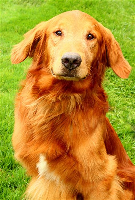 area golden retriever rescue golden retriever rescue resource contact golden retriever rescue