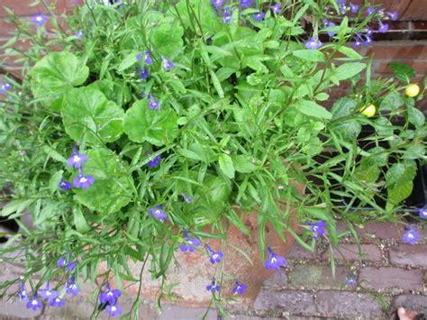pelargonium tuin geranium pelargonium zaaien moestuin forum voor en