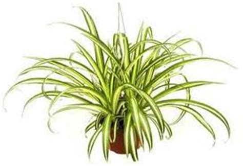 spider plant low light the best low light house plants home interior design themes