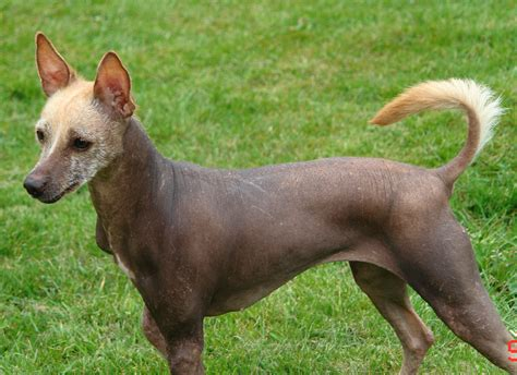 hairless puppy lovely mexican hairless photo and wallpaper beautiful lovely mexican hairless