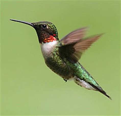 watching the hummingbird s migration fascinating facts