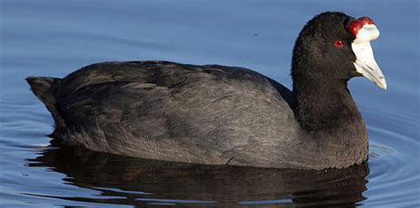 Knobbed Coot by Fulica Cristata Knobbed Coot