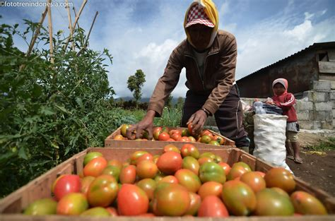 Harga Samsung J5 Pro Jambi petani menyusun buah tomat usai dipanen di lahan pertanian