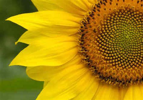 sunflower fibonacci sequence golden section barnes sunflower farm home