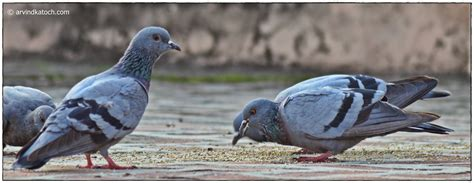 rock dove pigeon pictures and detail columba livia