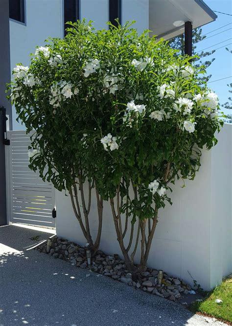plumeria pudica tropical garden