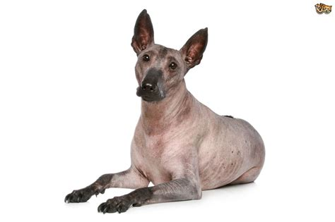 The four recognised hairless dog breeds   Pets4Homes