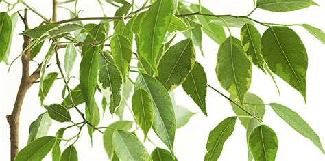 Ficus Benjamin Cura by Prendiamoci Cura Ficus Benjamin Cose Di Casa