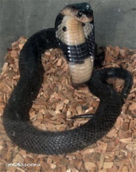 wallpaper ular hitam gambar foto hewan mei 2015