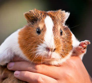 Put Your Chicken Or Rabbit Or Guinea Pig In An Omlet Omlet Eglu by Can You Keep A Rabbit And Guinea Pig Together Rabbits Ie