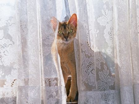cat lace curtains cat curtain lace curtain design photos lace curtains