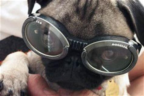 pug goggles doggles las gafas de sol para perros centro veterinario punta tienda para