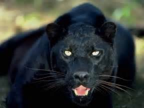 Animals zoo park black panther wallpapers animals hq backgrounds