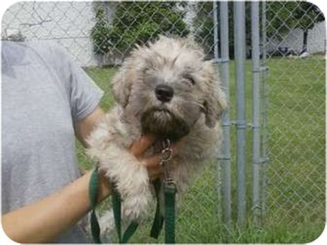 wheaten terrier shih tzu mix nelson adopted puppy oak ridge nj shih tzu wheaten