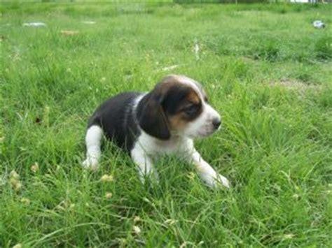 beagle puppies for sale in nc greensboro pocket beagles for sale in nc breeds picture