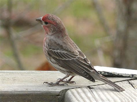 house finch wiki file house finch 27527 jpg wikimedia commons
