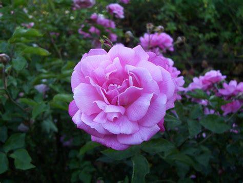 Blush Pink hortus camdenensis rosa chinensis jacq
