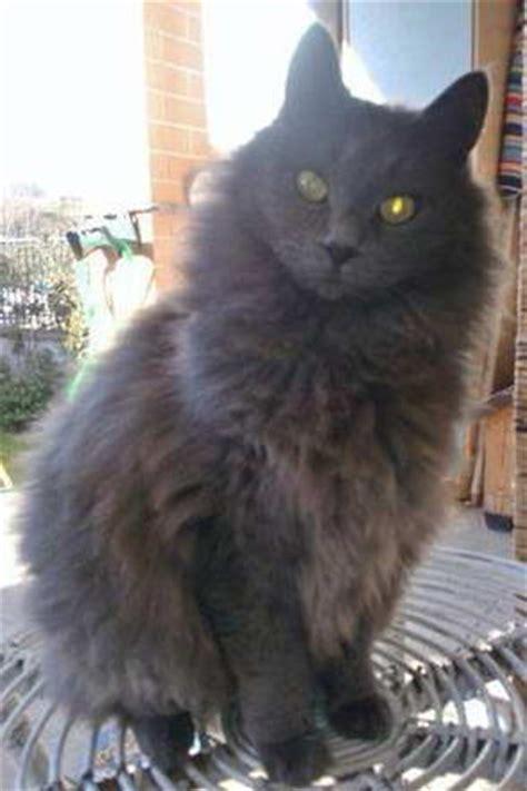 gatti persiani grigi gatto a pelo lungo grigio bagnaia viterbo