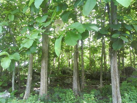 Bibit Pohon Kayu Putih jual bibit jati putih jual bibit tanaman dan jasa pembuatan taman