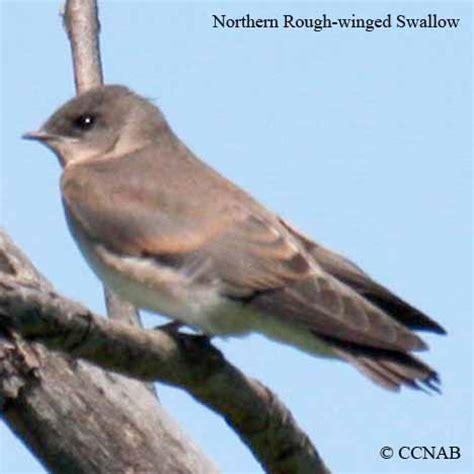 swallows birds of cuba birds seen in cuba
