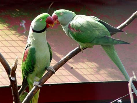 wallpaper of green parrot beautiful green parrots wallpapers wallpapers free