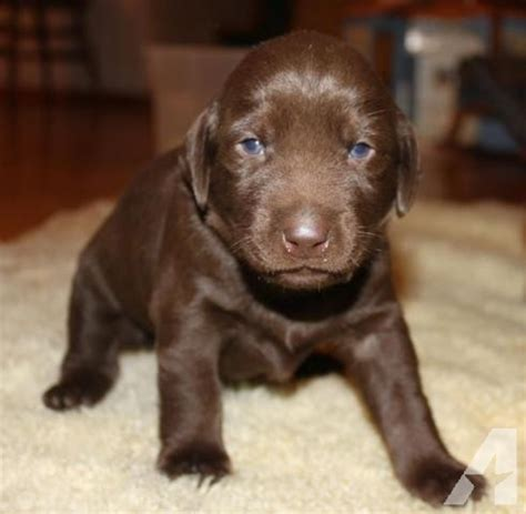 lab puppies for sale in oregon akc beautiful chocolate lab puppies for sale in portland oregon classified