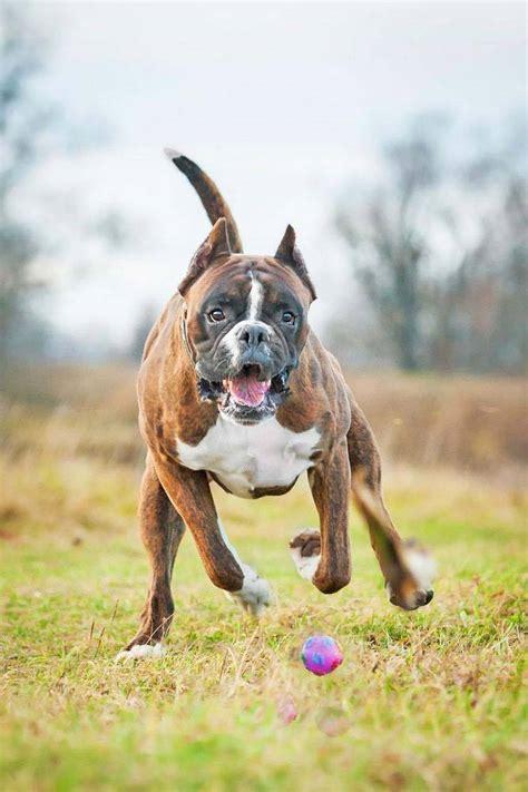 boxer puppy names boxer names chosen especially for this breed