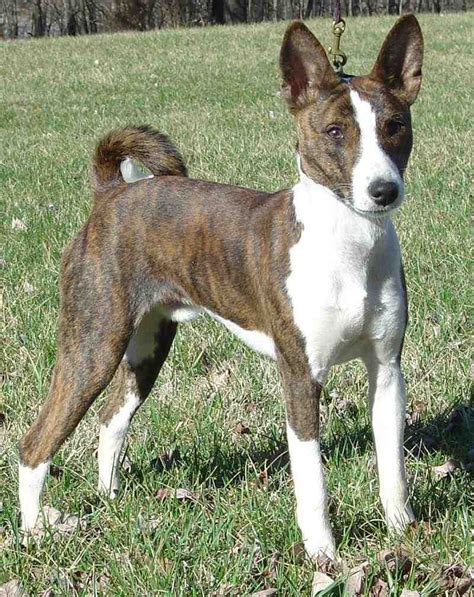 breeds and information basenji facts breeds picture
