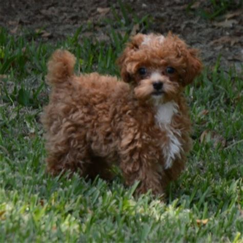 poodle puppies for sale in sc view ad poodle puppy for sale south carolina loris usa