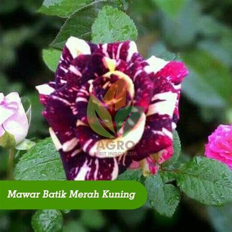 Jual Bibit Bunga Mawar Merah jual bibit bunga mawar batik merah kuning agro bibit id
