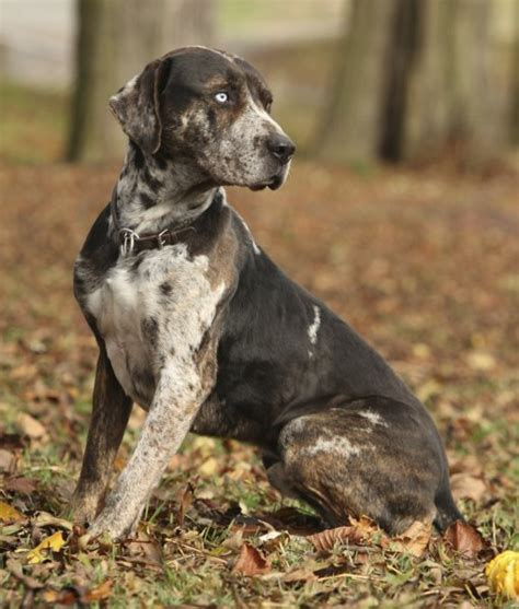 catahoula hound puppies catahoula leopard info pictures fallinpets